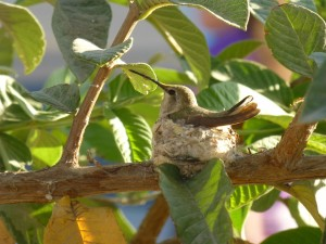 hummingbird in nest-sm