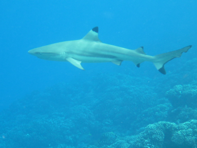 sharks scuba diving in the tuamotus on the horizon line travel and sailing blog brianna and rob