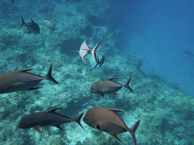 Click here to see trevally swimming underwater.
