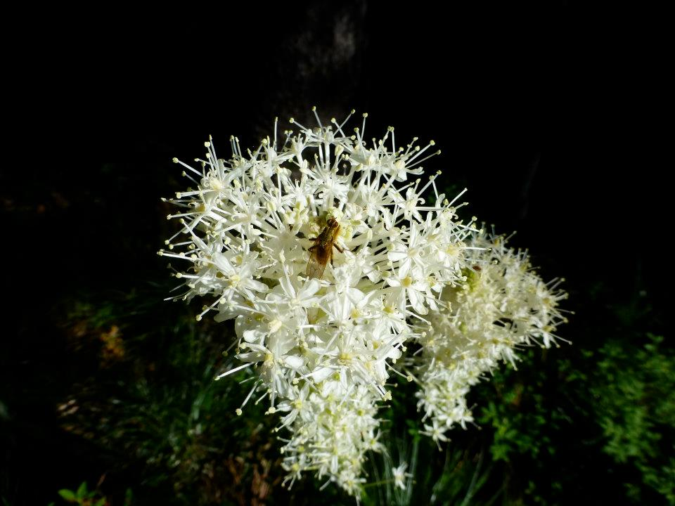 beargrass in montana wilderness